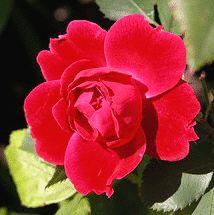 Alexander MacKenzie Canadian Explorer rose