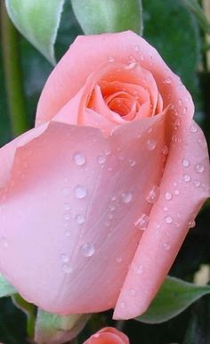 Beautiful Rose Flowers, Love Rose, Pink Flowers, Beautiful Flowers, Lavender Roses, Rose Images, Coming Up Roses, Flower Wallpaper, Flower Making