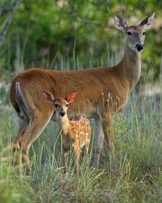 A Female Doe Deer With Her Young Fawn...