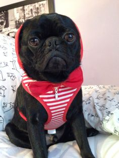 Outfit of the day #loyalluxe #bowtie & #puppia harness! #ootd #pug