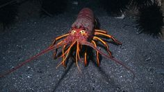 1000 images about california lobsters on pinterest for Lobster fishing california