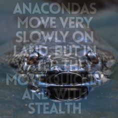 Anacondas move very slowly on land but in water they move quickly and with stealth. Snake Facts, Green Anaconda, Snakes, South America, Amazon, Water, Animals, Gripe Water, Animales