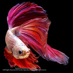 The Beauty of Nature No. 1 (Siamese Betta Fish by Mr. Kani… | Flickr