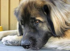 I want a huge dog...dreaming of a giant, magnificent dog like the leonberger or something comparable....