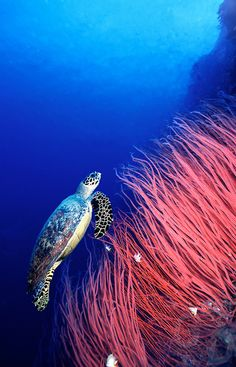 Sea turtle.  Representative of the Soul. To dream of a Sea Turtle is a Soul contact. Pay attention.  S.C.