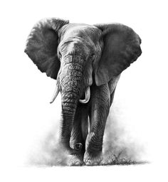 Browse through a collection of wildlife paintings and drawings by Richard Symonds. The majority are available as limited edition prints to buy from this shop. Realistic Animal Drawings, Pencil Drawings, Realistic Elephant Tattoo, Charcoal Drawings, Pencil Art, Wildlife Paintings, Wildlife Art, Wildlife Tattoo, Elephant Tattoos