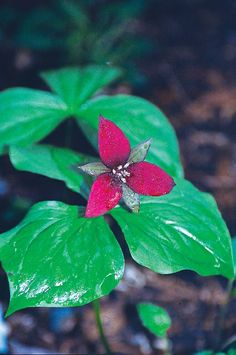 Trillium sulcatum (Sulcate Trillium)  The region where North Carolina, Virginia, Tennessee, West Virginia, Georgia, and Alabama converge is home to this amazing native trillium, named in 1984.