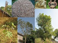 Medicinal Rice Formulations for Pancreas Revitalization and Cancer and Diabetes Complications (TH Group-124 special) from Pankaj Oudhia's Medicinal Plant Database