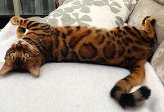 Thor ist wirklich ein wunderschönes Exemplar der Gattung Katze. Der Kater gehört…