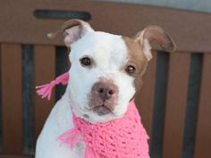 PRINCESS D - A1063741 - - Brooklyn  Please Share:   TO BE DESTROYED 02/12/16 A staff member writes: Princess D is a dog that lives up to her name! When you see her walking down the hallway with her high prance you just know you are in the presence of royalty. Like many noble women before her, Princess D lets you know what she is thinking with dramatic displays of body language. She is a danity girl that needs a few minutes to warm up to new people, but once you win her over