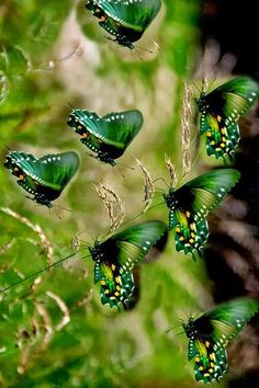 My mom would have loved these Green butterflies. Green was her favorite color.