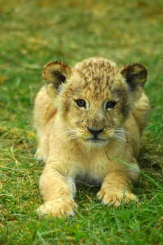 Photo about A cute African lion cub baby head portrait watching in a game park in South Africa. Image of conservation, faces, africa - 1870044 Baby Lion Cubs, Lion Wallpaper, Stock Foto, Baby Head, Big Cats, Baby Photos, Cute Animals, Wildlife, African