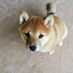 Shiba Puppy, Shiba Inu, Pet Dogs, Dog Cat, Doggies, Cute Doge, Cute Puppies, Dogs And Puppies, Husky