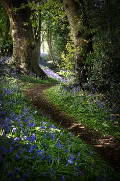 Bluebell 02 by Matt Oliver photography https://www.flickr.com/photos/littleredpill/
