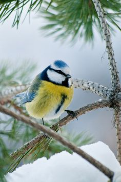 Blue tit - one of my favourite garden birds ♥ Pretty Birds, Love Birds, Beautiful Birds, Animals Beautiful, Cute Animals, Parus Major, Blue Tit, British Wildlife, Colorful Birds