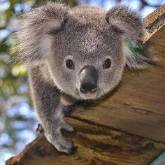 Cute Wild Animals, Baby Animals Pictures, Cute Animal Pictures, Cute Funny Animals, Baby Koala, Koala Bears, Baby Otters, Koala Tattoo, Koalas