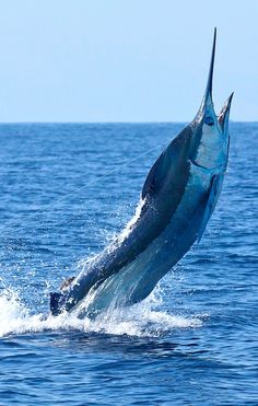 A'u / Blue, Silver and Black marlin Deep Sea Fishing, Gone Fishing, Marlin Fishing, Carnival Of The Animals, Beautiful Sea Creatures, Fishing Photos, Sport Fishing, Kayak Fishing, Blue Marlin