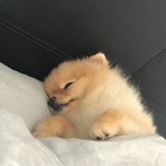 Rise and shine☀️ Comment below if You like this Vi #pomeranian