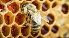 MULETA CIENTÍFICA - DAS ARTES AO DIREITO. PERFEITO!: Cientistas treinam abelhas para detectar drogas