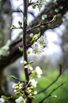 Wistfully Country, pear blossom by ilva-b on Flickr.