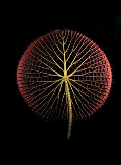 Botanica Magnifica is the photography portfolio of Jonathan Singer. Some of his work focusses on photographing endangered flowers. Natural Structures, Natural Forms, Natural Texture, Patterns In Nature, Textures Patterns, Nature Pattern, Foto Nature, In Natura, Petal Pushers