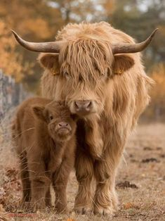 49 Adorable Highland Cattle Calves Bring a Smile to Your Day Cute Baby Cow, Baby Cows, Cute Cows, Baby Baby, Fluffy Cows, Fluffy Animals, Cow Pictures, Cute Animal Pictures, Cute Little Animals