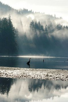 Quilcene Bay and Great Blue Heron in milky winter light. Alan C. Herold photo.