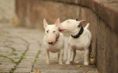 Sweet kiss - Miniatur Bullterrier by Susann Jihlawez