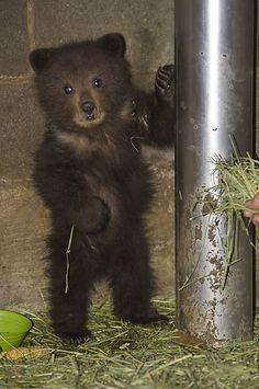 Pandora, a brown bear cub at the Fortress of the Bear sanctuary in Sitka, Alaska, prefers honey or fresh salmon. And she's going to hide behind her fireman's pole until she gets it. Photo: James Poulson / Daily Sitka Sentinel. Source:allcreatures