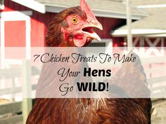 Not sure what treats to feed your chickens? Want to see your hens go wild? Here's 7 treats my hens go CRAZY for!