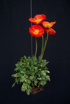 kokedama with poppies