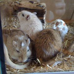 Adorable!!! Super Cute Animals, Adorable Animals, Gerbil Cages, Hamster, Rodents, Guinea Pigs, Mammals, Squirrel, Fur Babies