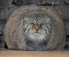Photos du Manul ou Chat de Pallas - Maine-Coon and Friends Felis Manul, Manul Cat, Rare Animals, Animals And Pets, Funny Animals, Funniest Animals, Animal Memes, Big Cats, Crazy Cats