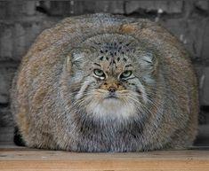 【モフモフしたくなる、この丸さ】準絶滅危惧種の「マヌルネコ」とは?