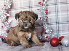 💛🐾These #adorable #Shorkie puppies love playing and cuddling with children. They are looking forward to meeting their own #newfriend to love on them and play with.💛🐾 #Charming #PinterestPuppies #PuppiesOfPinterest #Puppy #Puppies #Pups #Pup #Funloving #Sweet #PuppyLove #Cute #Cuddly #Adorable #ForTheLoveOfADog #MansBestFriend #Animals #Dog #Pet #Pets #ChildrenFriendly #PuppyandChildren #ChildandPuppy #LancasterPuppies www.LancasterPuppies.com Shih Tzu Poodle Mix, Shih Tzu Mix, Yorkie, Animals Dog, Cute Baby Animals, Mans Best Friend, New Friends, Shorkie Puppies For Sale, Lancaster Puppies