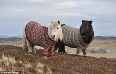 Shetland ponies and Fair Isle knitwear are beloved across the world, so why not combine the two? These two cosy-looking mares have been dressed in button-down Fair Isle jumpers to promote the Year of Natural Scotland