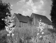 Tobacco Barns, 1957