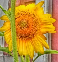 First Sunflower this season