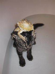 lizard riding kitten..haha No one looks happy about this bath