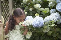 How to Start Hydrangea Bushes From Cuttings