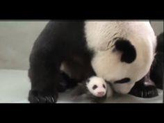 ▶ Baby Panda Meets Mom For The First Time Born At Taipei Zoo, Yuan Zai - YouTube: Thanks to @Elizabeth Lockhart Silbermann ! #Panda