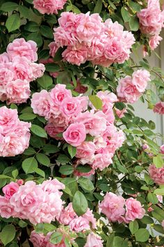 Our Favorite Climbing Roses Climbing Pinkie - Our Favorite Climbing Roses - Southernliving. A great choice for fences, columns, and trellises, this lightly fragrant rose requires no special care. David Austin Climbing Roses, New Dawn Climbing Rose, White Climbing Roses, Climbing Flowers Trellis, Climbing Flowering Vines, Trellis Fence, Trellis Ideas, Garden Care, Thornless Climbing Roses