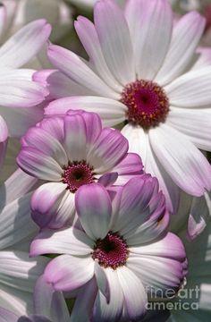 Blushing Daisies…. Flowers Garden Love