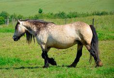 Buckskin Gypsy Vanner Horse Walking Stallion Gelding Mare