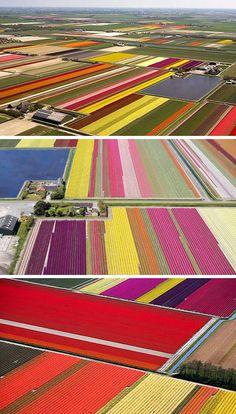 Magnificent Dutch Tulip Fields