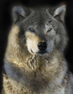 SADNESS~ Washington state Senate OKs killing gray wolves to protect pets, livestock