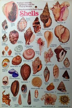 Beachcomber's Field Guide# to Shells# Seashell Art, Seashell Crafts, Seashell Projects, Sea Crafts, Nature Crafts, Seashell Identification, Rock Identification, Shell Decorations, Shell Collection