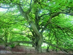 enormous ancient Beech tree
