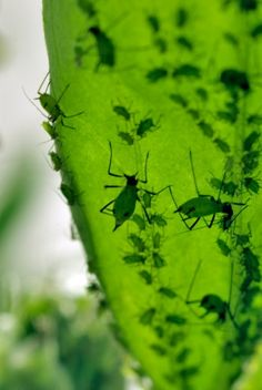 Pigments that can harvest the Sun's energy have a role in the metabolism of pea aphids.    SIMON FRASER/SCIENCE PHOTO LIBRARY