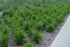 Dianella caerulea 'Little Jess' Alpine Plants, Garden Images, Native Plants, Backyard Landscaping, Sidewalk, Nursery, Herbs, Landscape, Grasses